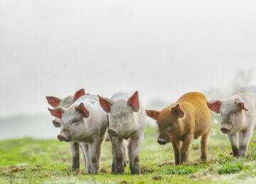 4 different colours piglets standing in front of the photographer