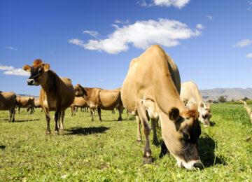 Jersey Cows Grazing in the Marlborough region of New Zealand.