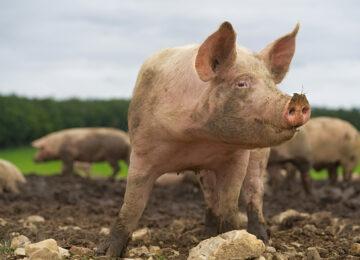 Domestic farm animals